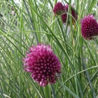 Kugel-Zierlauch / Allium sphaerocephalon
