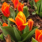 Botanische Tulpe