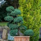 Wacholder handgeformt / Juniperus virg. Grey Owl