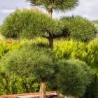 Schwarzkiefer handgeformt / Pinus nigra x nigra