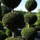 Lebensbaum Pagode handgeformt / Thuja occ. Brabant
