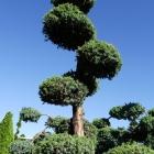 Wacholder handgeformt / Juniperus squamata Meyeri