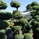 Wacholder handgeformt / Juniperus squamata Blue Carpet