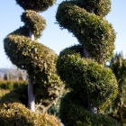 Lebensbaum Spirale handgeformt / Thuja occ. Smaragd
