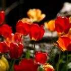 Tulpe / Tulipa in Arten und Sorten