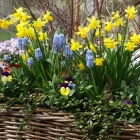Frühlingsblüher für den Balkonkasten