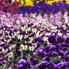 Hornveilchen / Viola cornuta in Sorten
