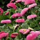 Gefülltes Gänseblümchen / Bellis perennis in Sorten