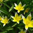 Botanische Tulpe / Tulipa tarda