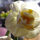 Gefüllte Duft- Narzisse / Narcissus Bridal Crown