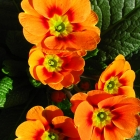 Schlüsselblume / Primula vulg. Hybriden in Sorten