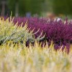 Sommerheide / Calluna vulgaris in Sorten