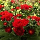 Chrysantheme / Chrysanthemum in Sorten