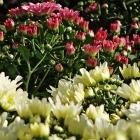 Winterharte Chrysantheme / Chrysanthemum in Sorten