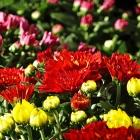 Chrysanthemum Trio Busch