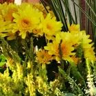 Gelbe Chysantheme lässt den Herbst aufleuchten