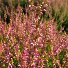 Sommerheide / Calluna vulgaris lila