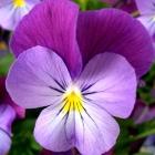 Hornveilchen / Viola cornuta vielen Sorten