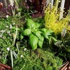 Kräutervariationen für den Topfgarten