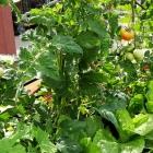 Tomaten & Co für fruchtigen Sommerertrag