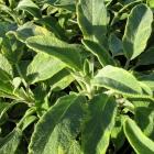 Gelbbunter Salbei / Salvia off. Aurea