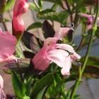 Johannisbeersalbei / Salvia ovrahamis