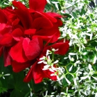Geranie stehend & hängend / Pelargonium zonale & peltatum