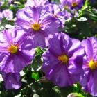 Enzianstrauch / Solanum rantonnetii