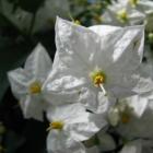 Sommerjasmin / Solanum jasminoides