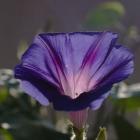 Prunkwinde / Ipomea purpurea