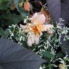 Zauberschnee / Euphorbia Diamond Frost