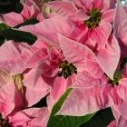 Weihnachtsstern / Euphorbia pulcherrima in Farben