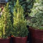 Weihnachtsbaum im Topf / nachhaltig, pflanzfähig & wiederverwendbar