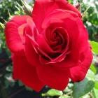 Kletterrose Amadeus / Rosa Hybride Amadeus