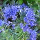 Blaue Bartblume / Caryopteris clandonensis Heavenly Blue.