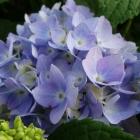 Blaue Bauernhortensie / Hydrangea macrophylla Endless Summer Blue