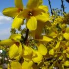 Goldglöckchen Goldrausch / Forsythia x intermedia Goldrausch