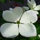 Großblumiger Japanischer Blumen-Hartriegel / Cornus kousa Venus