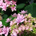 Gefüllte Tellerhortensie You & Me / Hydrandea macrophylla You & Me Romance
