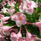 Rosa Zwerg-Weigelie / Weigela florida Pink Poppet