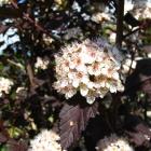 Rotblättrige Blasenspiere / Physocarpus opulifolius Diabolo