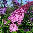 Sommerflieder Pink Delight / Buddleja davidii Pink Delight