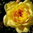 Englische Rose Graham Thomas / Rosa Hybride Graham Thomas