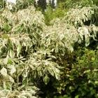 Weißbunter Etagenhartriegel / Cornus alternifolia Variegata