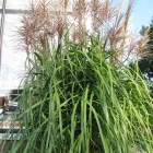 Chinaschilf / Misanthus sin. Rotsilber