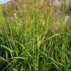 Rutenhirse / Panicum in Sorten