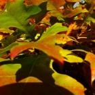 Zwerg-Säulensumpfeiche / Quercus pal. Green Pillar