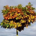 Kugel-Sumpf-Eiche / Quercus palustris Green Dwarf