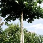 Kugel-Amberbaum / Liquidambar styr. Gumball
