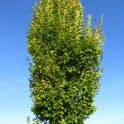 Säulen-Hainbuche / Carpinus betula Fastigiata